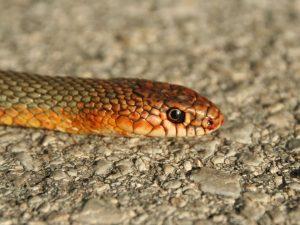Caspian-Whip-Snake-Macedonia