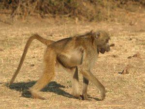 Chacma-Baboon-Botswana