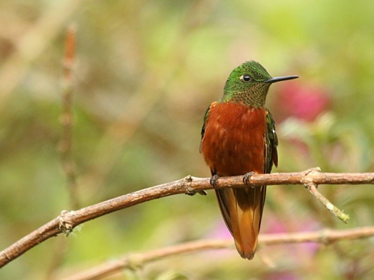 Chestnut-breasted-Coronet-Ecuador