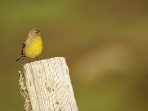 Citril-Finch-Cevennes