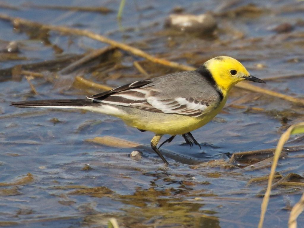 Citrine-Wagtail-Estonia
