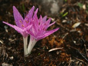 Colchicum-variegatum-Turkey