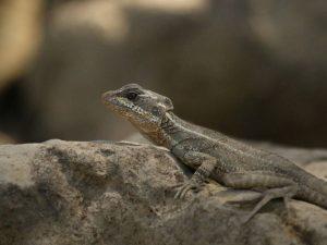 Common-Basilisk-Costa-Rica