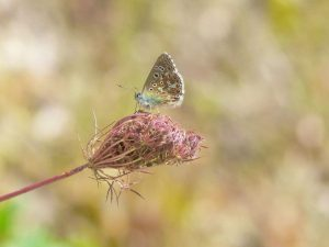 Common-Blue-Dordogne
