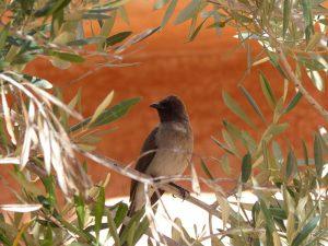Common-Bulbul-Morocco