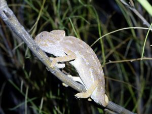 Common-Chameleon-Andalucia