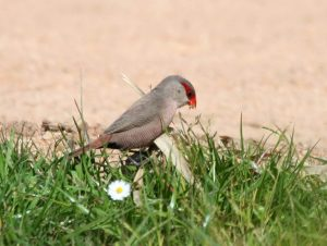 Common-Waxbill-Portugal