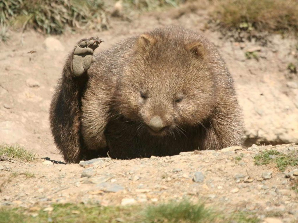 Common-Wombat-Tasmania