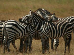Common-Zebra-Tanzania