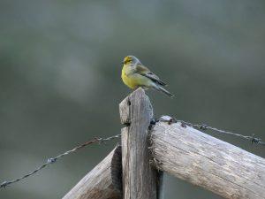 Corsican-Finch-Sardinia