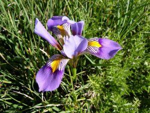 Iris-cretensis-Crete