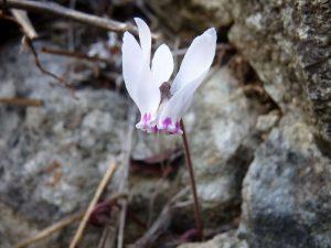 Cylamen-cyprium-Cyprus