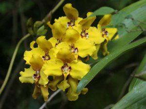 Cyrtochilum-macranthum-Ecuador