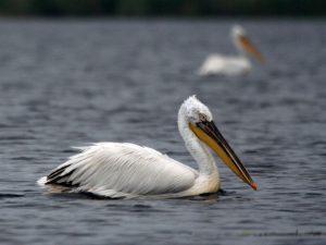 Dalmatian-Pelican-Danube-Delt
