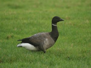 Dark-bellied-Brent-Goose-Norfolk