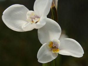 Diplarrena-moraea-Tasmania