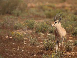 Dorcas-Gazelle-Morocco