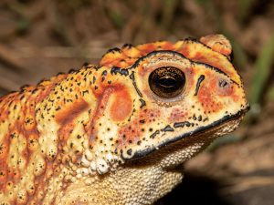 Common-Indian-Toad-Sri-Lanka