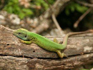 Eastern-Green-Lizard-Bulgaria