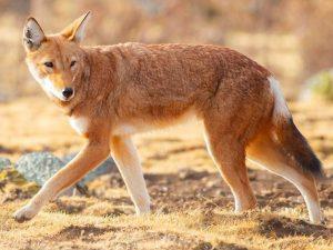 Ethiopian-Wolf-Ethiopia