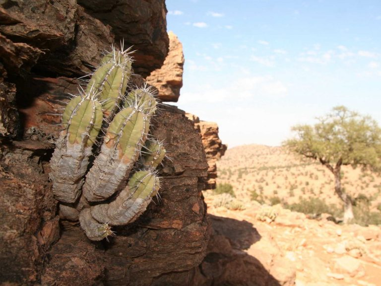 Euphorbia-officinarum-Morocco