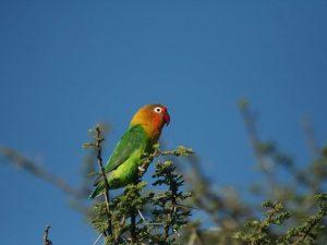 Fischer's-Lovebird-Tanzania
