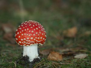 Fly-Agaric-Estonia