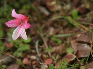 Gladiolus-triphyllus-Cyprus