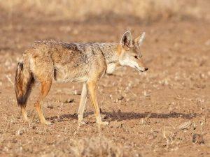 Golden-Wolf-Ethiopia