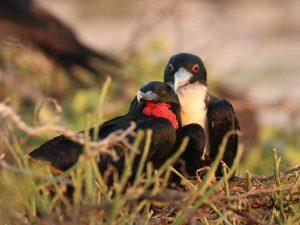 Great-Frigatebird-Galapagos
