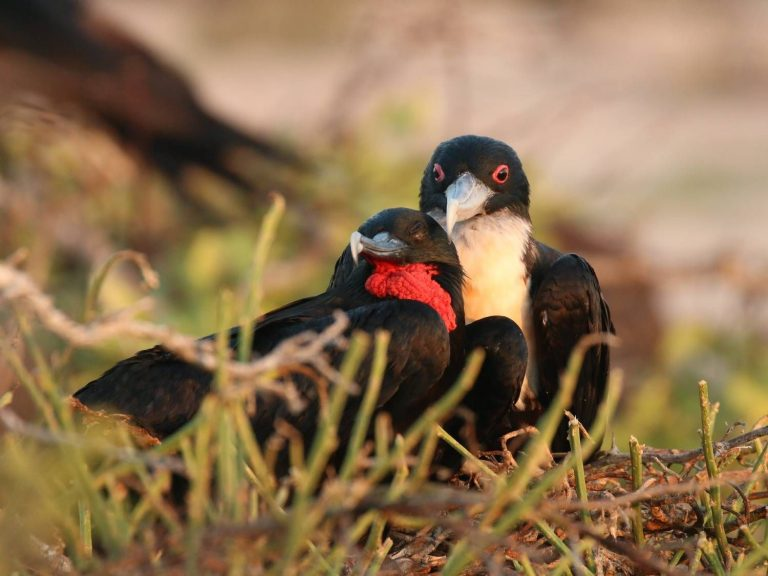 Great-Frigatebird-Galapagos