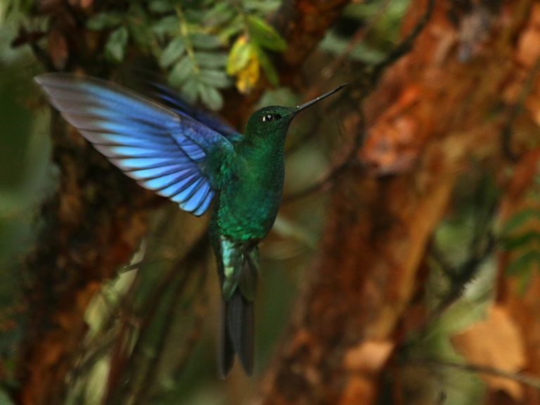 Great-Sapphirewing-Ecuador