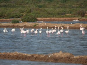 Greater-Flamingo-Portugal