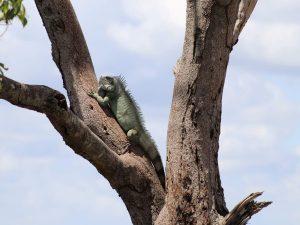 Green-Iguana-Colombia
