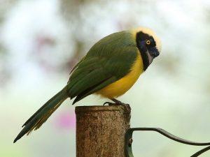 Green-Jay-Ecuador