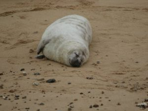 Grey-Seal-Norfolk