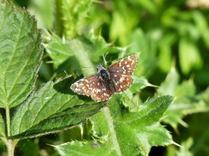 Grizzled-Skipper-Sussex