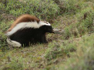 Humboldt's-Hog-nosed-Skunk-Chile
