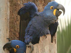 Hyacinth-Macaw-Brazil