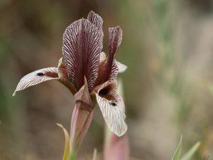 Iris-lineolata-Armenia