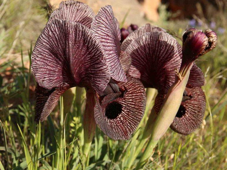 Iris-lycotis-Armenia