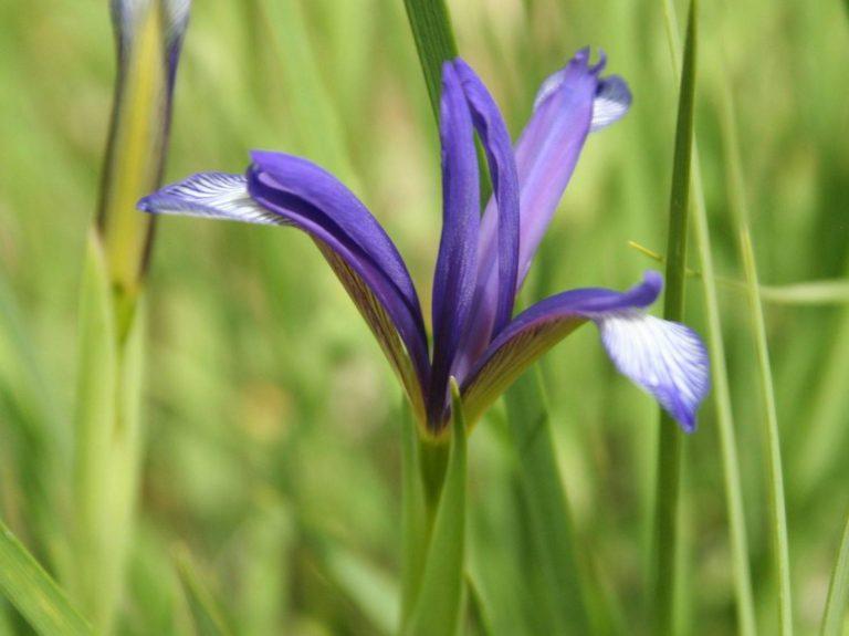 Iris-sintenesii-Macedonia