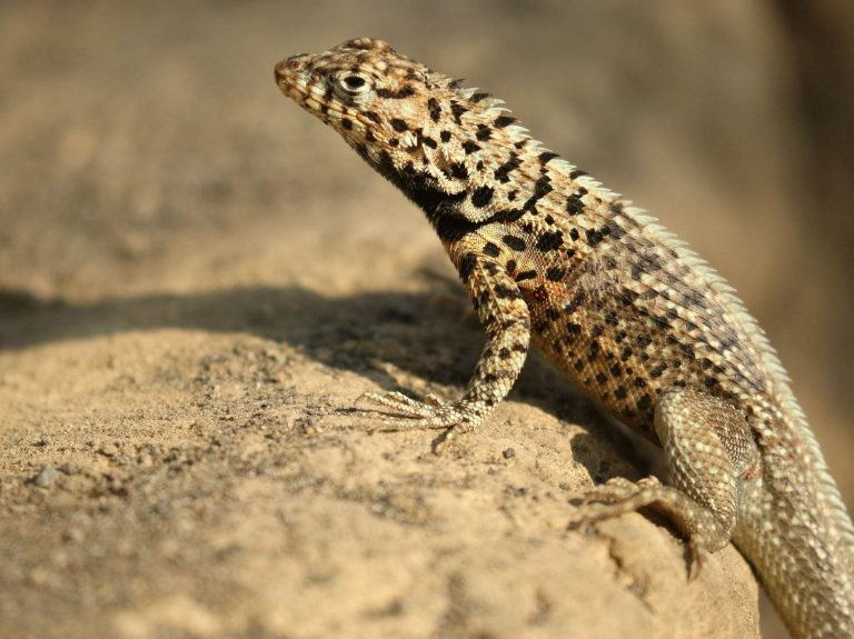 Isabela-Lava-Lizard-Galapagos