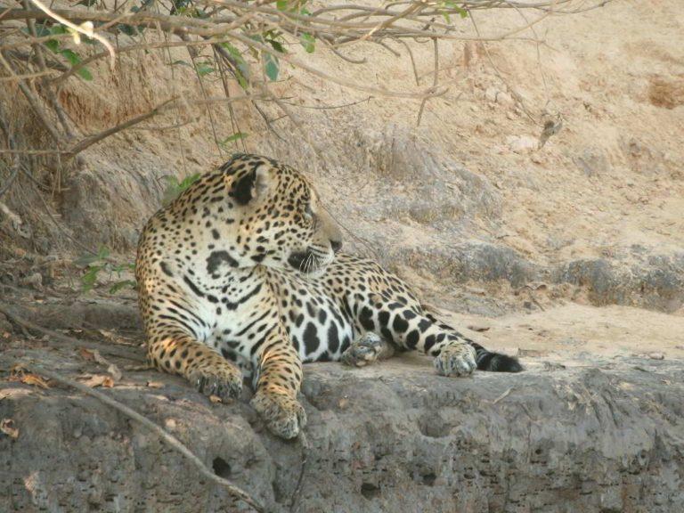 Jaguar-Brazil
