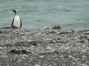 King-Penguin-Chile