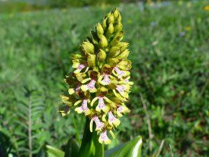 Orchis-purpurea-Armenia