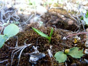Ophioglossum-lusitanicum-Cyprus