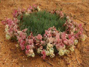Lechenaultia-macrantha-Australia