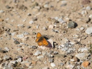 Lesser-Spotted-Fritillary-Lesvos
