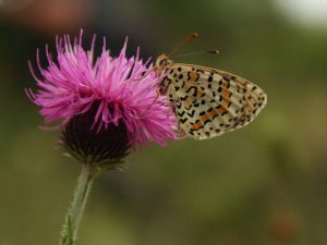 Lesser-Spotted-Fritillary-Macedonia